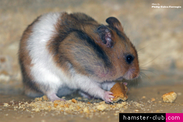 Will normal household foods poison my hamster?