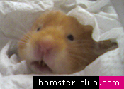 Hamster's old age and the process of dying
