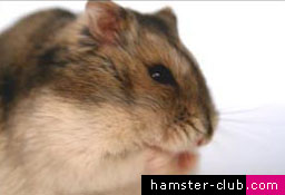 A Hamster's Diet: What Should I Feed My Hammy?