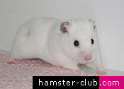 The first few hamster days