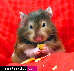 Cute Teddy Bear Hamster