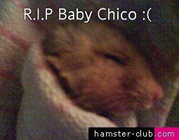 Chico the hamster
