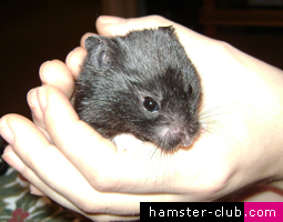 Taming a Hamster