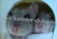 The Russian Winter White Dwarf Hamsters