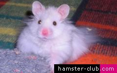 Angora Hamster