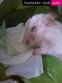 Hamster Club :: When a hamster dies