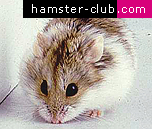Dwarf Campbell Russian Hamster