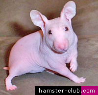 The Hairless Hamster