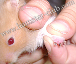 hamster protein deficiency - hamster poor nails / loss of nails