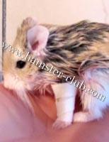 hamster broken leg