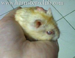 Hamster Cataracts