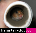 hamster toilet paper roll