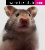 Hamsters wallpapers