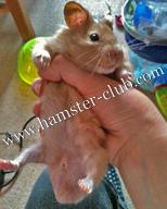 Hamster Penile Plug