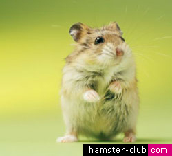 Hamster Club :: How long do hamsters live – All you need to know
