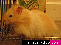 hamster is the long haired hamster; better know as the teddy bear ...