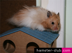 Adopted Hamster