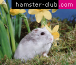 Dwarf Winter White Russian Hamster