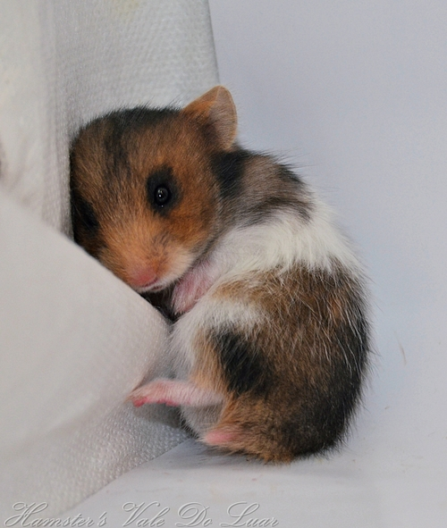 The Cutest Baby Hamsters you've ever seen : Hamster Fun Pics