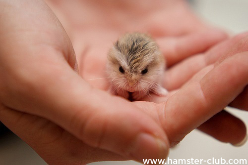 cutest baby hamsters