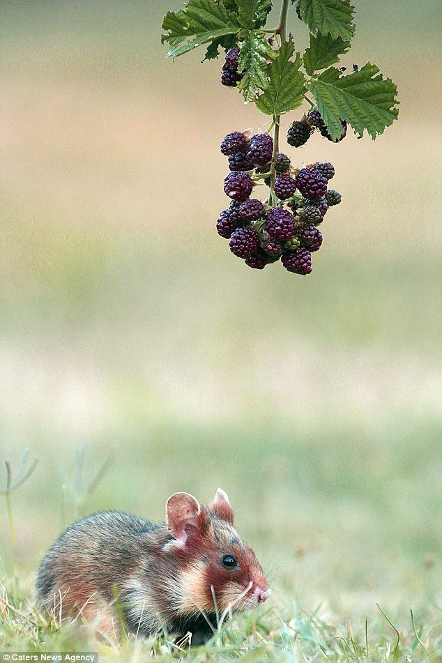 Hamster jumps for berries