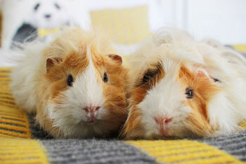 Guinea Pigs: Why They Make Great Pets