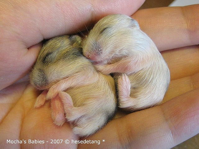 WARNING Baby Hamster Cuteness That Will Melt Your Heart