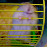 Can hamsters be trained not to gnaw?