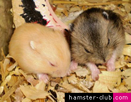 Orphaned baby hamsters