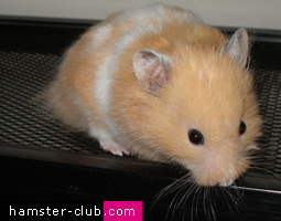 Free hamster games
